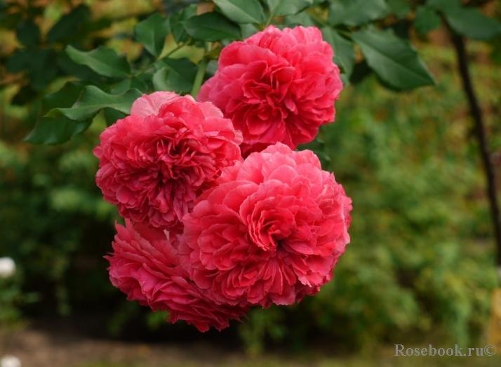 rosarium uetersen roses pinterest. Black Bedroom Furniture Sets. Home Design Ideas