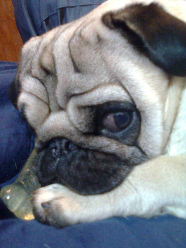 Wrinkly face!! #Pug #Dog #Cute #Wrinkles | I Love Pugs | Pinterest