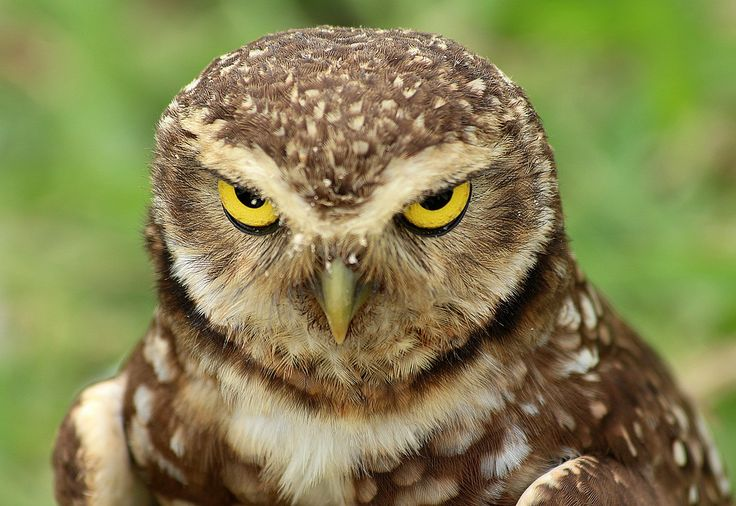 лицо совы картинки