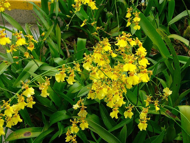Oncidium (Dancing Lady) Orchid | Home: Garden | Pinterest