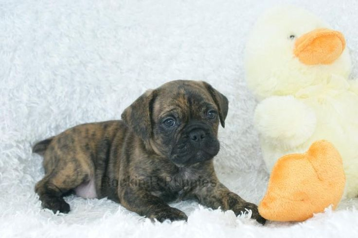 french bulldog puggle mix | Charlie Frenchie Puggle: Rockin R Puppies