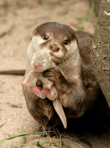 Otter mom holding baby