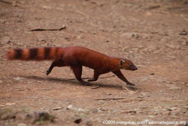 Ring-tailed mongoose  Galidia elegans Ring Tailed Mongoose
