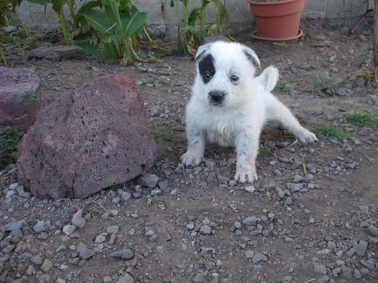 Mr Eraser..... border collie blue heeler pup | Border collie puppies ...