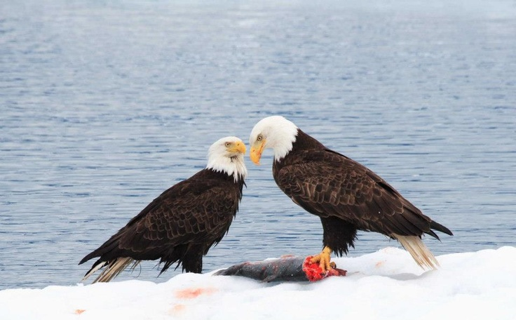 Bald eagles eating salmon north to alaska plants for Fish eating eagle