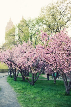 park with pink blossoms
