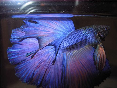 Red purple and blue betta fish