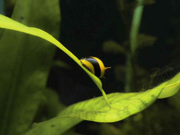 Horned Nerite Snail Future Pet Possibilities Pinterest