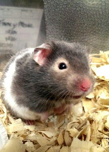 #ShortHairedHamster #hamster | Petsmart Animals | Pinterest