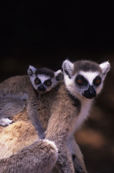 Ring-tailed lemur with...