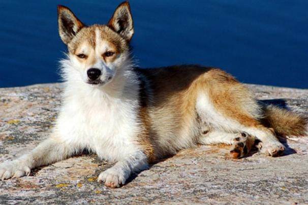 Norwegian Lundehund aka Puffin Dog | Cool Dogs | Pinterest