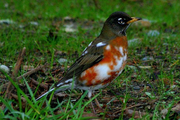 American robin | BIRDS - Albino & leucistic | Pinterest