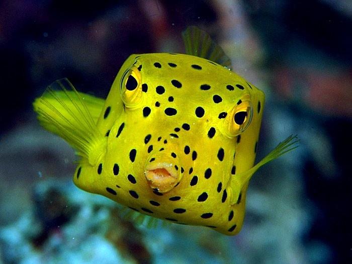 Boxfish! Animals! Pinterest