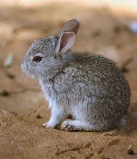 Pygmy rabbit | project...