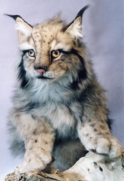 Lynx cat - photo#13