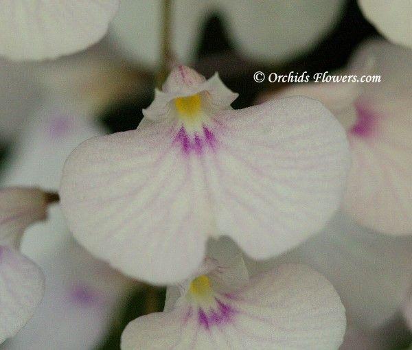 Miniature Orchid Ionopsis utricularioides