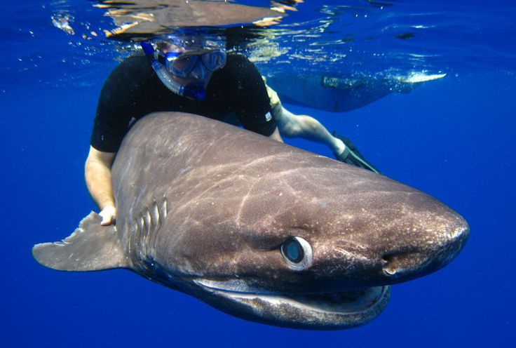 sixgill shark in the Pacific Ocean off Vancouver