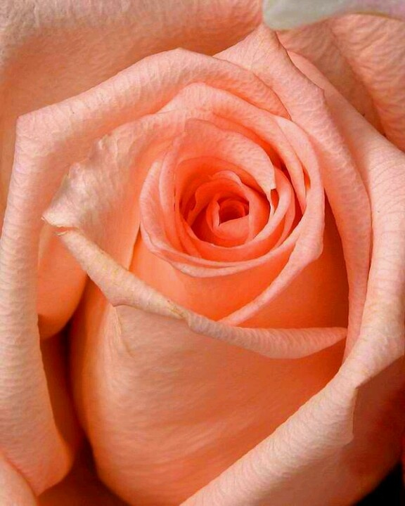 perfect peach rose | JUST PEACHY | Pinterest