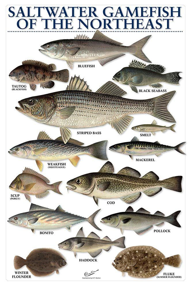 Saltwater gamefish of the northeast for California saltwater fish species