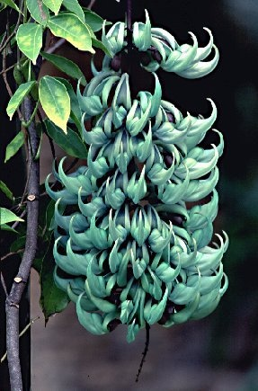 Jade Vine (Strongylodon macrobotrys)