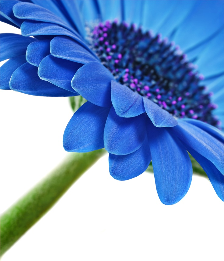 blue gerber daisy | I Think I Wanna Marry You | Pinterest: pinterest.com/pin/35465915788368973