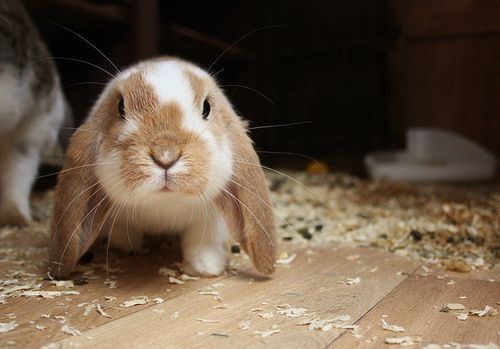Cute brown and white floppy eared bunny. | Adorable ...