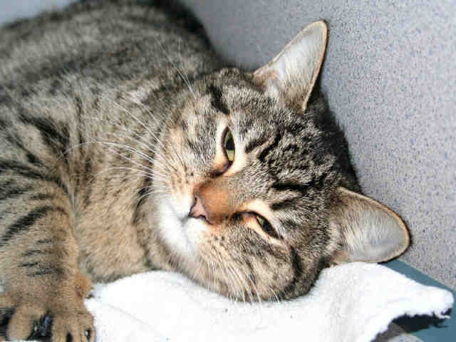 Roxy 1025403 is a spayed female brown tabby domestic shorthair mix