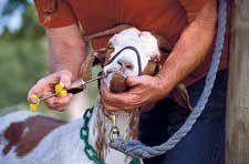 Basic farm animal husbandry skills - animal restraint, wound care, hoof care, admin. of medications, taking vital signs.....