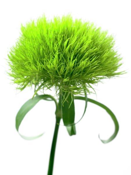 Dianthus barbatus 'Green Trick' | Gardening | Pinterest