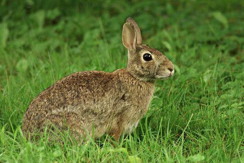 wild rabbit in my back yard  My wild life photos  Pinterest