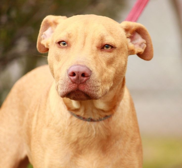 Red nose pitbull yellow lab mix