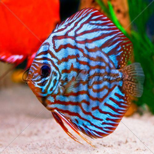 Colorful Tropical Fish Bing Images Tropical Fish