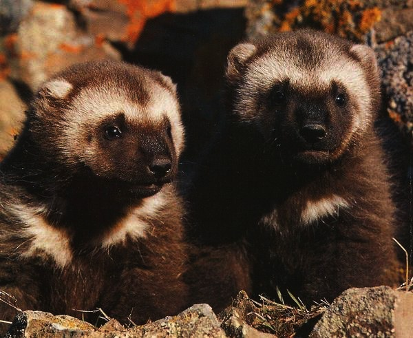 Wolverine cubs | Heaven & Earth | Pinterest Wolverine