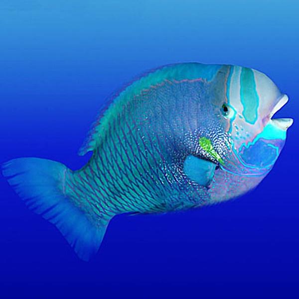 Parrot fish color blue pinterest for Pictures of parrot fish