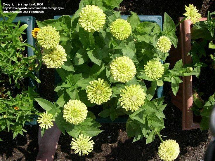 Zinnia Elegans Seedlings Zinnia 'Envy' Zinnia e...