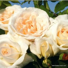 kordes rosen kosmos rose garden pinterest. Black Bedroom Furniture Sets. Home Design Ideas