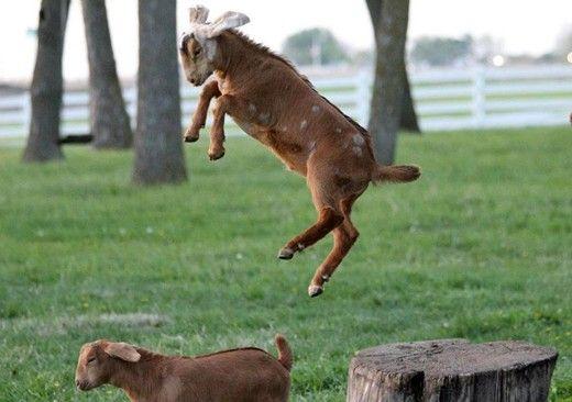 Goat jumping