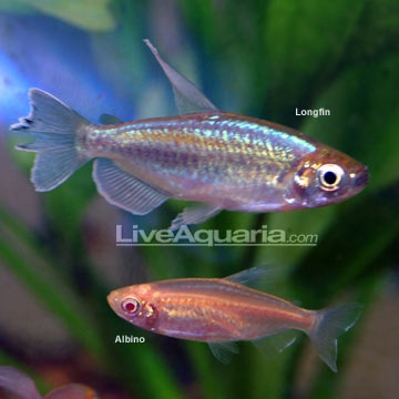 Congo Tetra Fishy fishy Pinterest