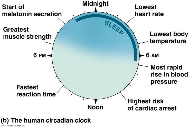 circadian clocks essay