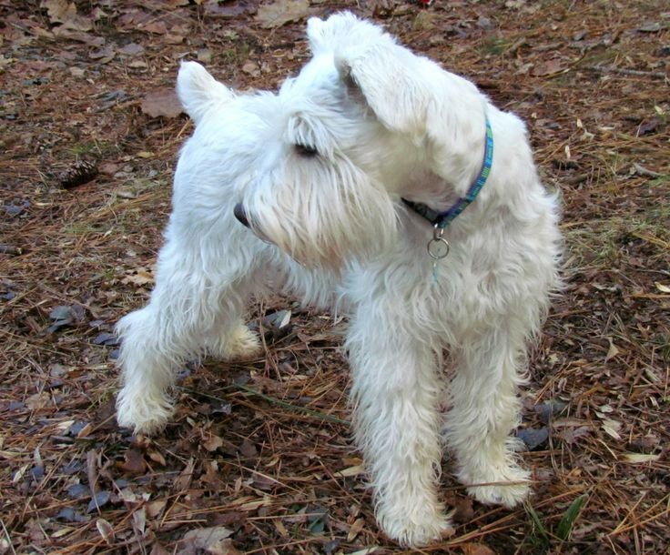 grooming ideas. #schnoodle | Good to Know! | Pinterest