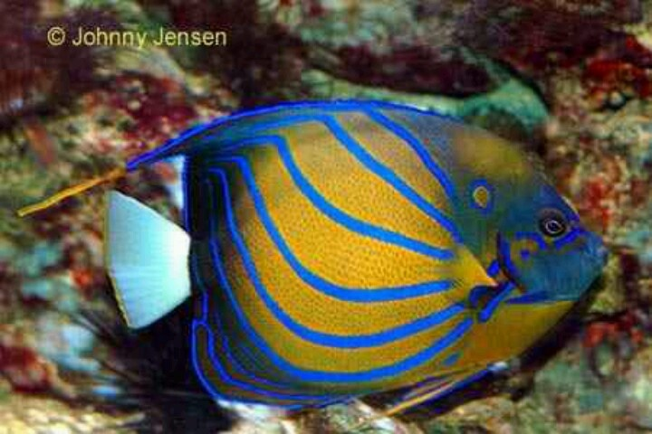 Saltwater blue ring angel fish fishes pinterest for Blue saltwater fish