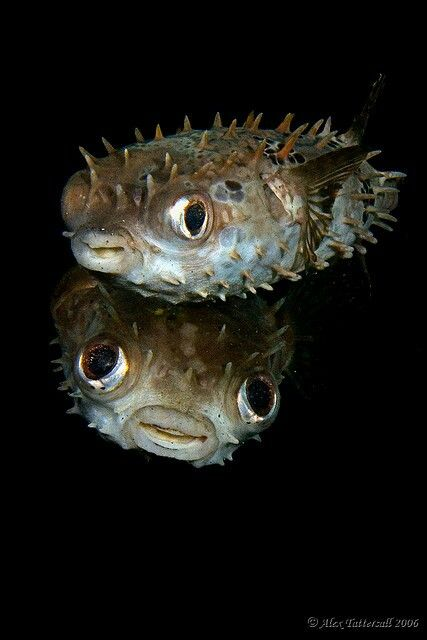 Puffers porcupine puffer - burrfish or A spiny spike puffer