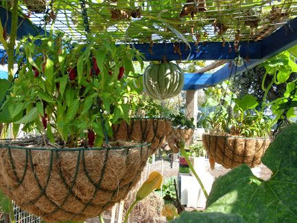 how to grow chillies in melbourne