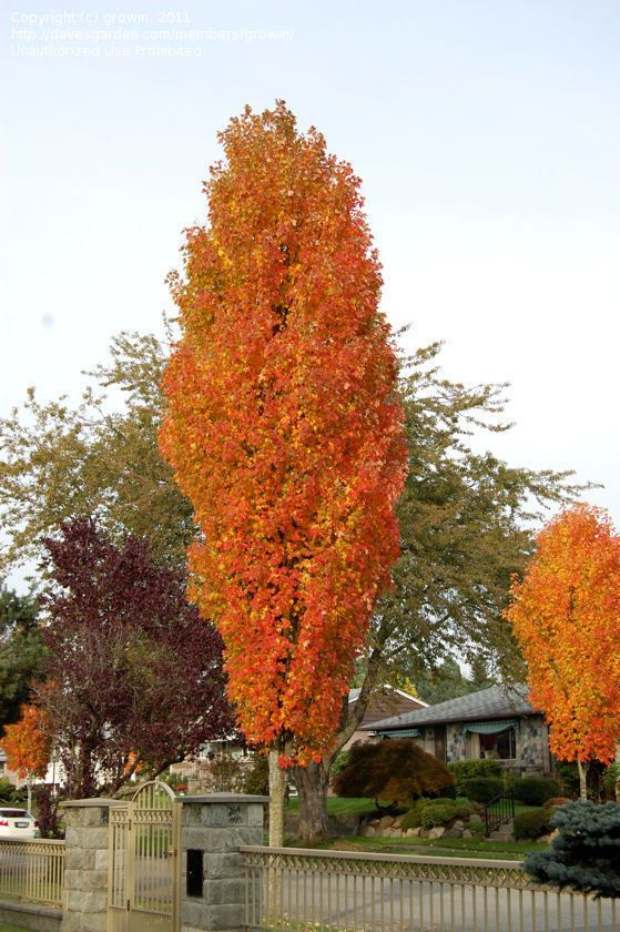 Pin by streamside homes landscapes on all star west for Tall thin trees for small gardens