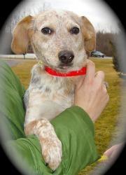 Babe - beagle/blue heeler | Perfect Pets | Pinterest