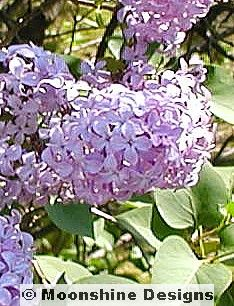 Old fashioned purple lilac yard amp garden delights pinterest