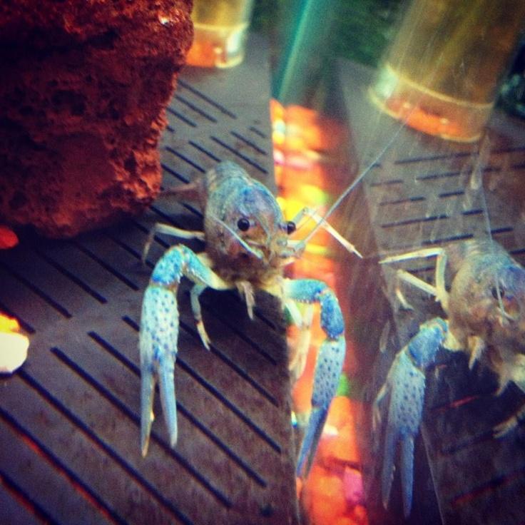 Pet zone tropical fish san diego california blue for Lobster fishing san diego