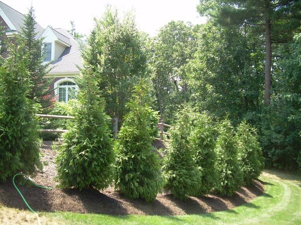 Thuja Green Giant Plants And Gardens Pinterest