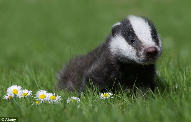 baby badger | Wildlife | Pinterest - 33.2KB