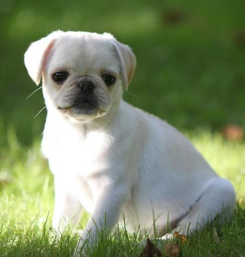 White pug puppies